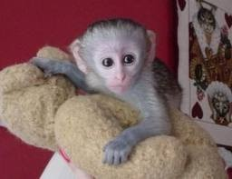 two lovely capuchin monkey