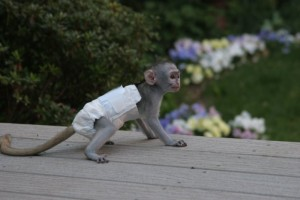 Affection Diapers Trained Capuchin monkey Babies looking for a new home
