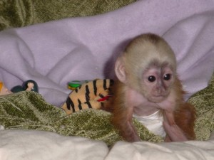 exotic capuchin available for x-mas