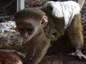 Suitable and Charming Capuchin Baby Monkeys Now Available