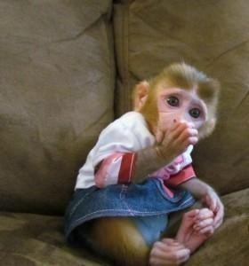 Intelligent and well tamed capuchin monkey for Xmas adoption