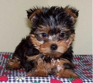 Female yorkie DESPERATELY looking for a good home contact us at ====== (atenajustin@gmail.com)