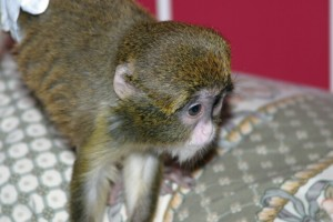 ADORABLE BABIES CAPUCHINS,SQUIRREL AND MARMOSET MONKEYS