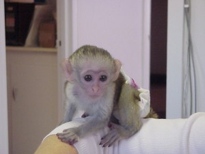 Lovely Baby Capuchin Monkeys Available