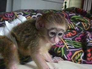 LOVELY BABY MALE AND FEMALE CAPUCHIN MONKEY AVAILABLE NOW!!!!!!(Roslyjoycen@yahoo.com)