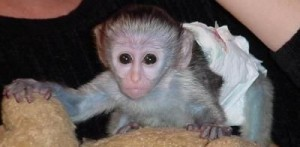 Adorable baby Capuchin monkey for adoption.