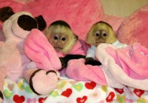 Adorable male and female baby Capuchin Monkeys for lovely families.