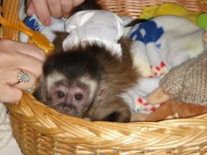 Lovely baby Capuchin monkeys for a new home