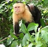 capuchin monkey for sale at affordable prices