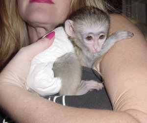 Cute Male and Female Capuchin Monekys for sale