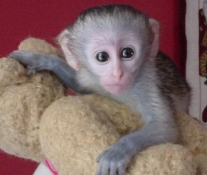 Beautiful registered baby face Capuchin monkeys available..