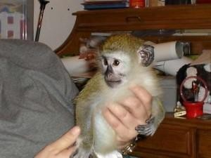 AFFECTIONATE BABY CAPUCHIN MONKEY AVAILABLE NO