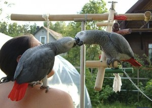 A Pair of Talking African grey parrots for adoption - Both are DNA Tested.