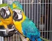 cute blue and gold macaw for re homing