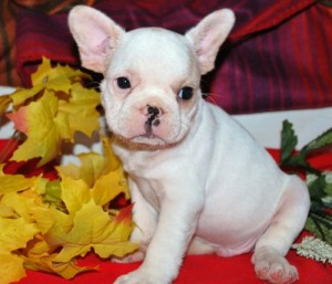 french bulldog puppies omaha dogs omaha ne free classified ads 9993