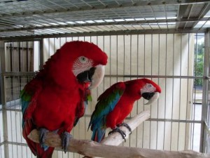 *****Adarable Pair Green Wing Macaw Parrots For Adoption To Any Lovely Family*****
