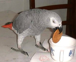 Well Trained Male And Female African Grey Parrots For Adoption