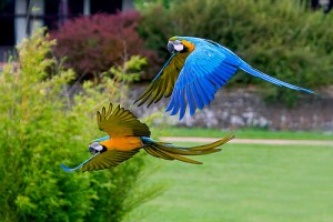 Two beautiful Talking Blue and Gold Macaw Parrots for free adoption