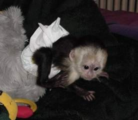 charming baby capuchin monkeys for new homes.