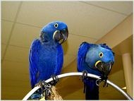 hycnith macaw birds for adoption