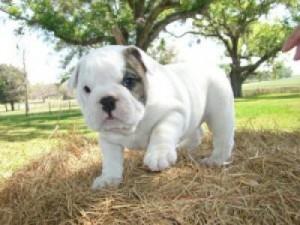 White Baby English Bulldog