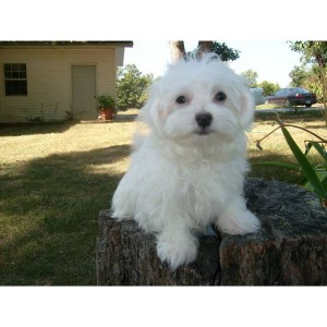maltese puppies for sale in sc dogs greenville sc free classified ads 8347