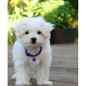 maltese puppies for adoption near me pets maine free classified ads 2544