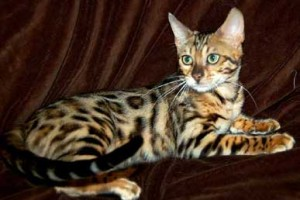 Top Quality and Beautiful Bengal Kittens available for adoption!