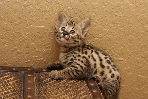 Extremely spotted savannah kittens available
