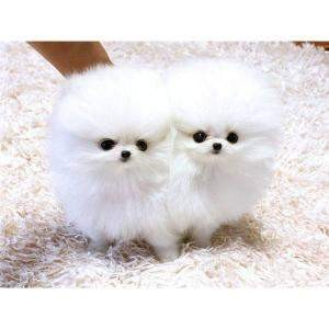 Charming Tea Cup Pomeranian Puppies For Adoption