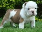 lovely English bulldog puppies for free adoption this Xmas for any loving home.Contact me for more information on how they are g