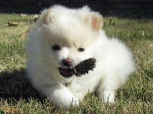 pomeranian for sale in sc dogs des moines ia free classified ads 1849