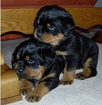 Rottweiler puppies for sale - 250.00 US$