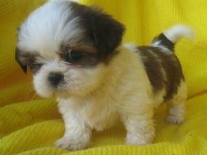 ******Adorable Cute Family Male and Female Shih Tzu Puppies available  for X-mass***Please Contact Now