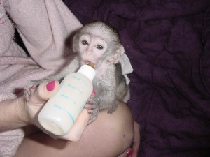 Baby Capuchin and Marmoset Monkey For Your Pets Loving Home .