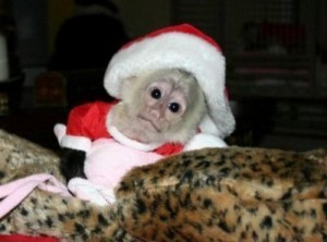Pure Well Socialized Capuchin monkey  Male and female For X mas Text us at (760) 823-7180