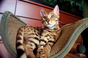 Male And Female Bengal kittens For Sale Now Ready To Go Home