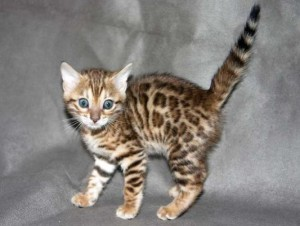 Lovely male and female Bengal kittens for adoption