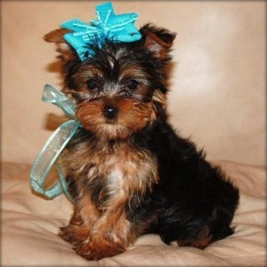 Baby Face Teacup Yorkie puppy for re homing.
