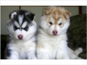 ♥ ♥ ♥Adorable and cute ♥  Siberian Husky Puppies Available ♥