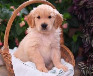 ♥ ♥ ♥Oustanding and cute ♥ Golden Retriever Puppies Available TEX US ON (2095070112) ♥