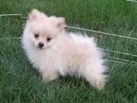 (XMAS)MALE AND FEMALE POMERANIAN PUPPIES FOR FREE ADOPTION!!!!