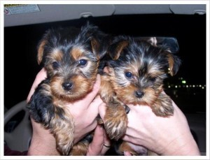 Sensitive Teacup Yorkshire Terrier Puppies Akc Registered For Adoption.