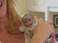 WE HAVE ADORABLE BABY CAPUCHIN MONKEYS