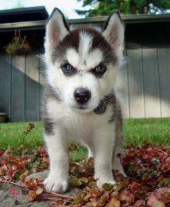 Male and Female Husky Puppies for free Adoption(include your phone number)