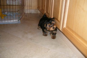 My teacup Yorkie babies are urgently looking for a lovely home