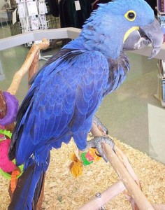 Cute Blue Macaw Parrots for adoption