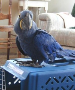 Talking Hyacinth Macaws Up Now for a New Family