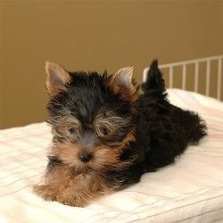 Well socialized Yorkie puppies