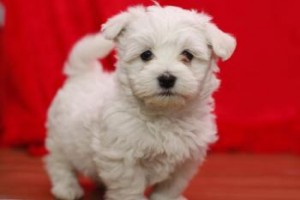 maltese puppies for sale in sc dogs north charleston sc free classified ads 1075